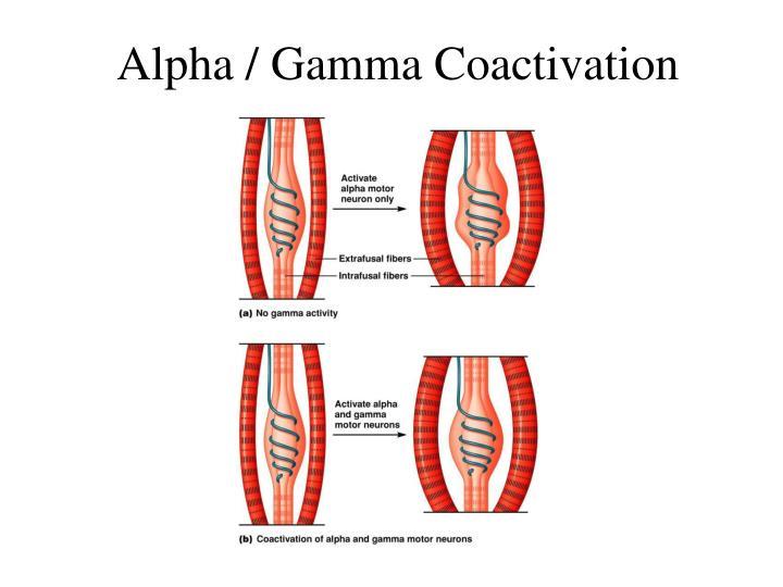 Alpha / Gamma Coactivation