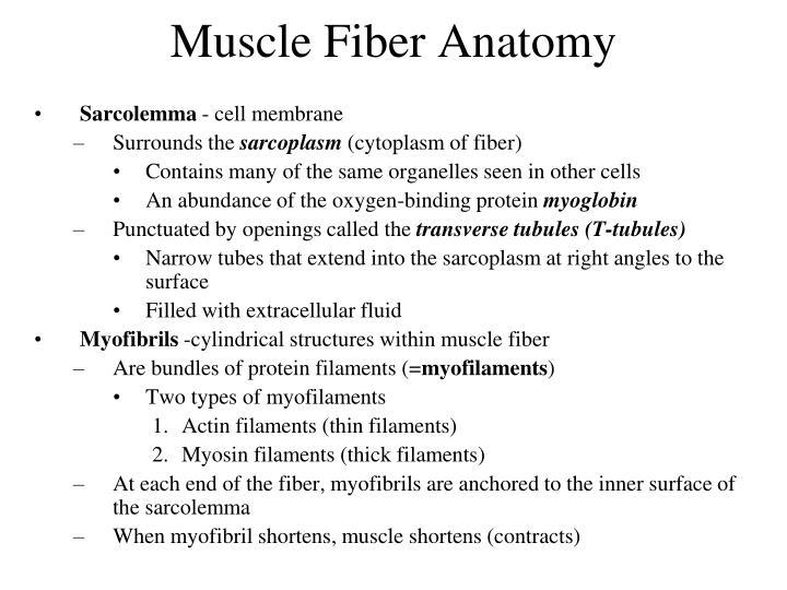 Muscle Fiber Anatomy
