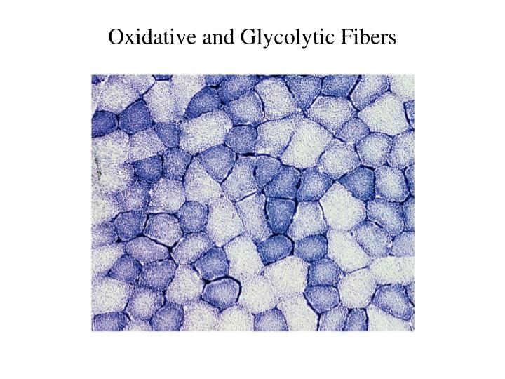 Oxidative and Glycolytic Fibers