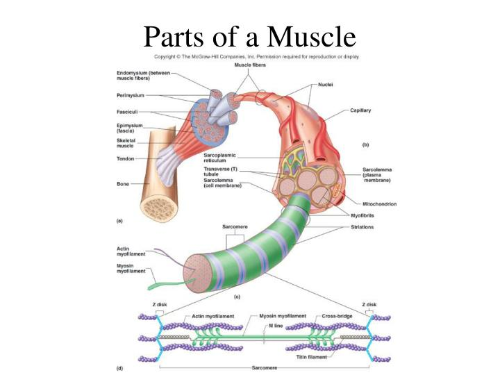 Parts of a Muscle