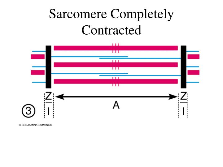 Sarcomere Completely Contracted