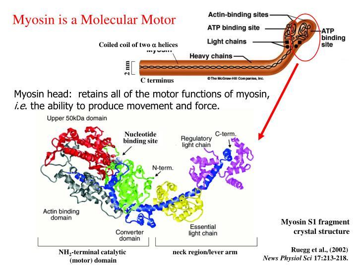 Myosin is a Molecular Motor