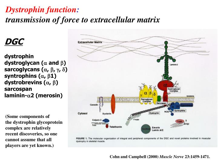 Dystrophin function