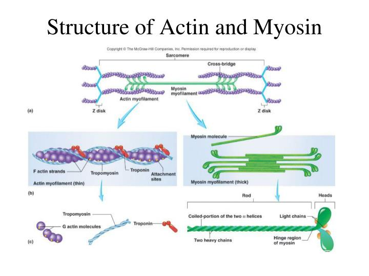 Structure of Actin and Myosin
