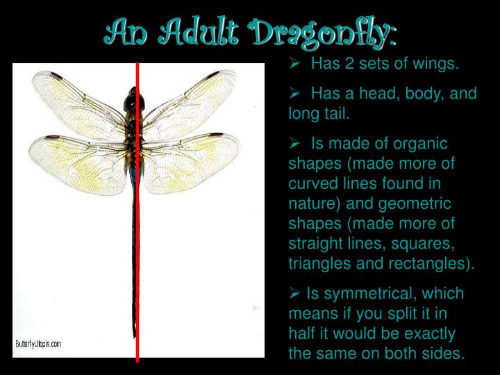 An adult dragonfly