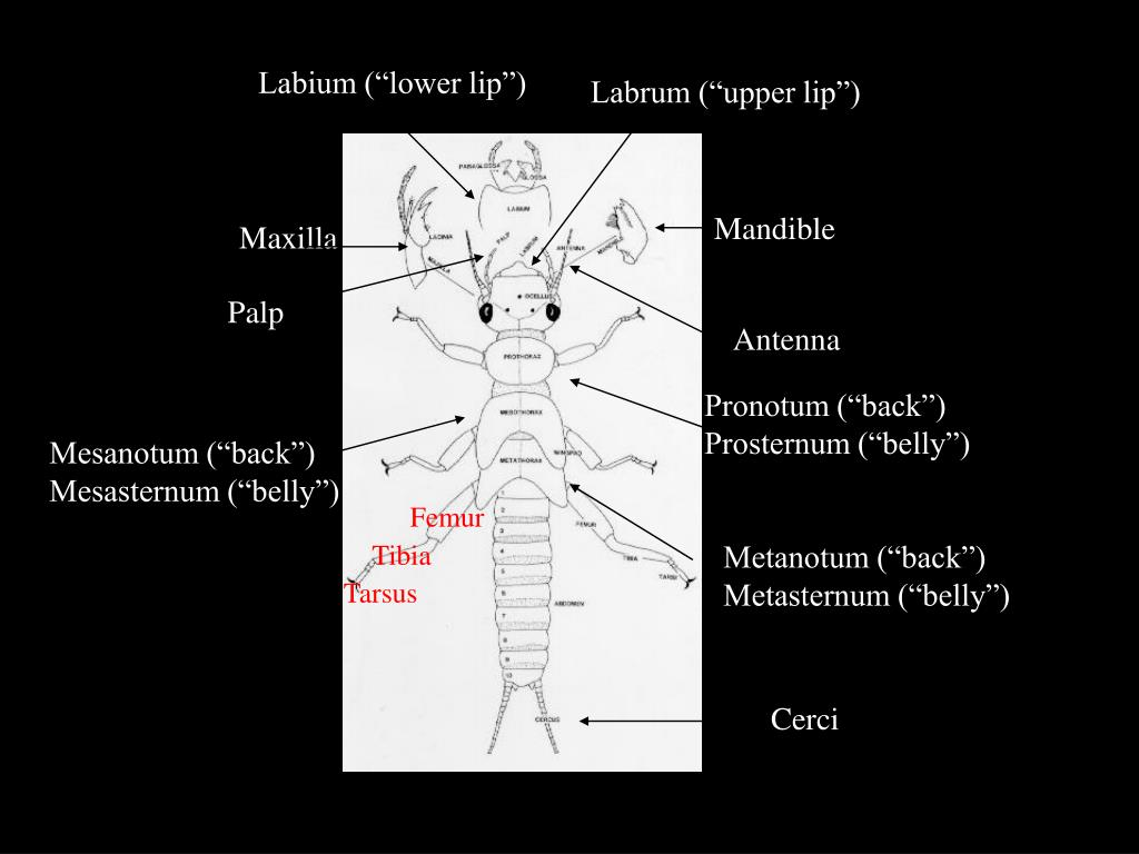 """Labium (""""lower lip"""")"""
