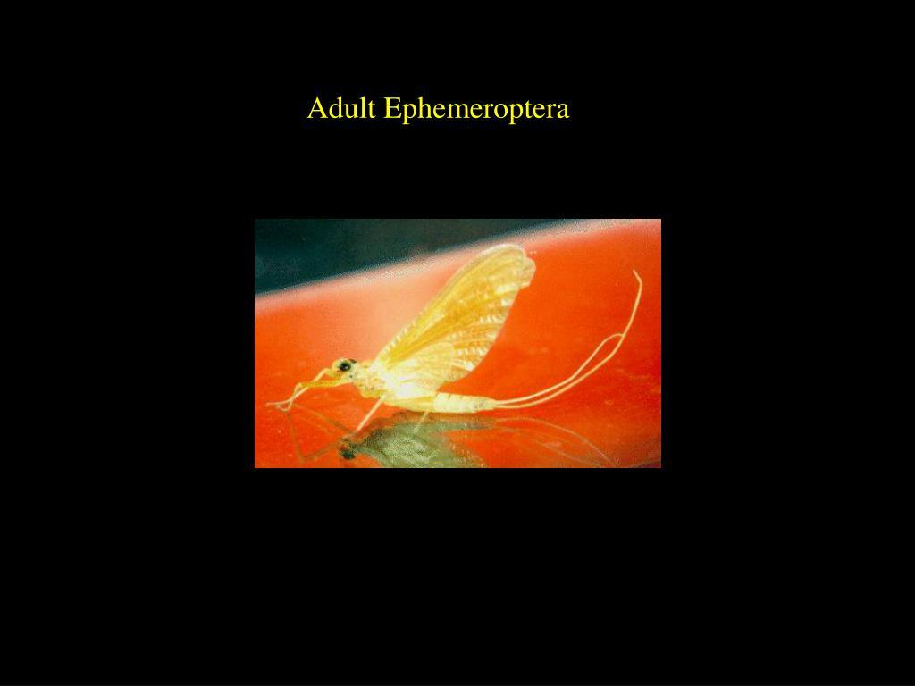 Adult Ephemeroptera