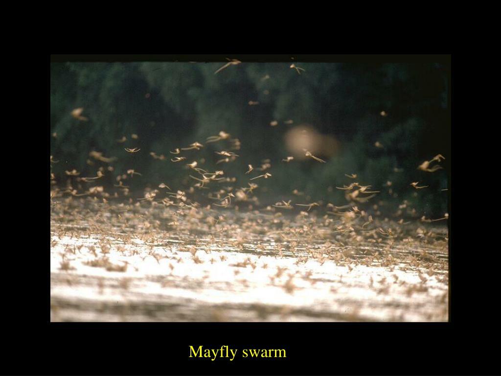 Mayfly swarm