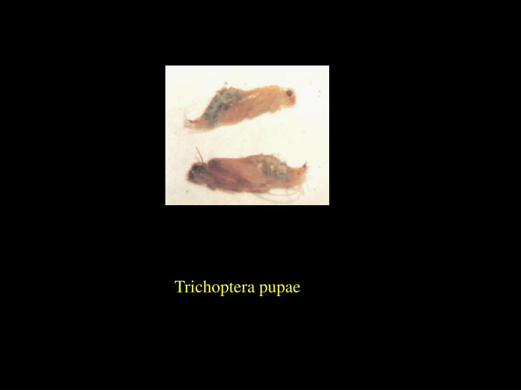 Trichoptera pupae