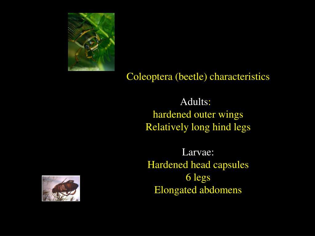 Coleoptera (beetle) characteristics