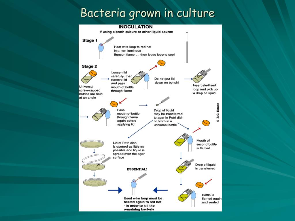 Bacteria grown in culture