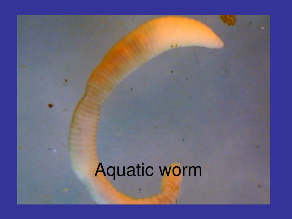 Aquatic worm