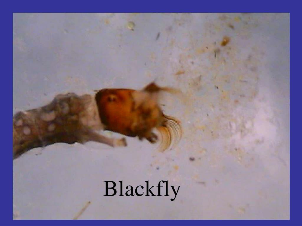 Blackfly