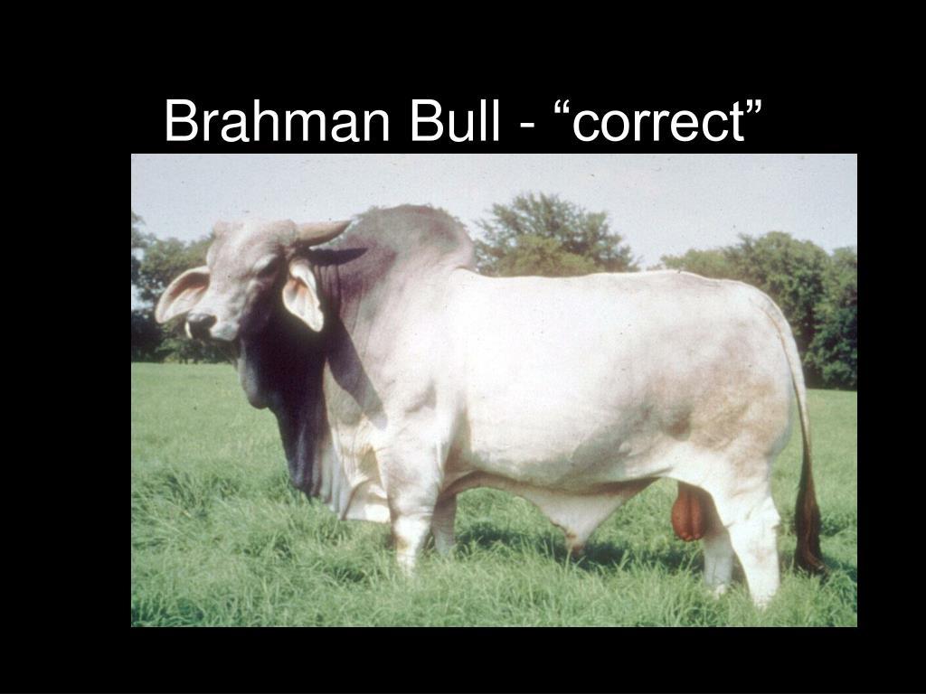 "Brahman Bull - ""correct"""