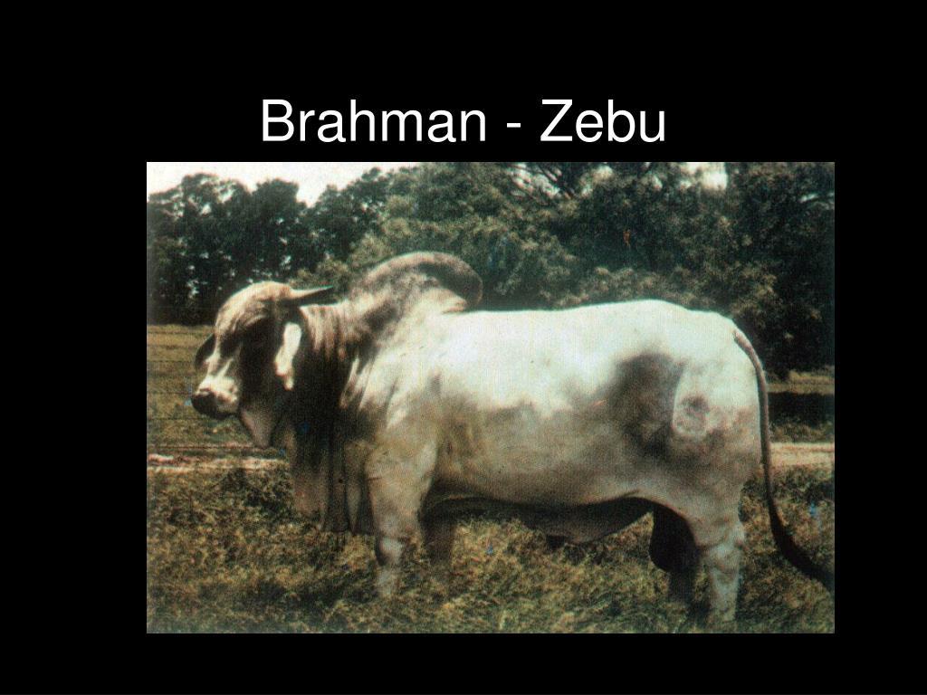 Brahman - Zebu