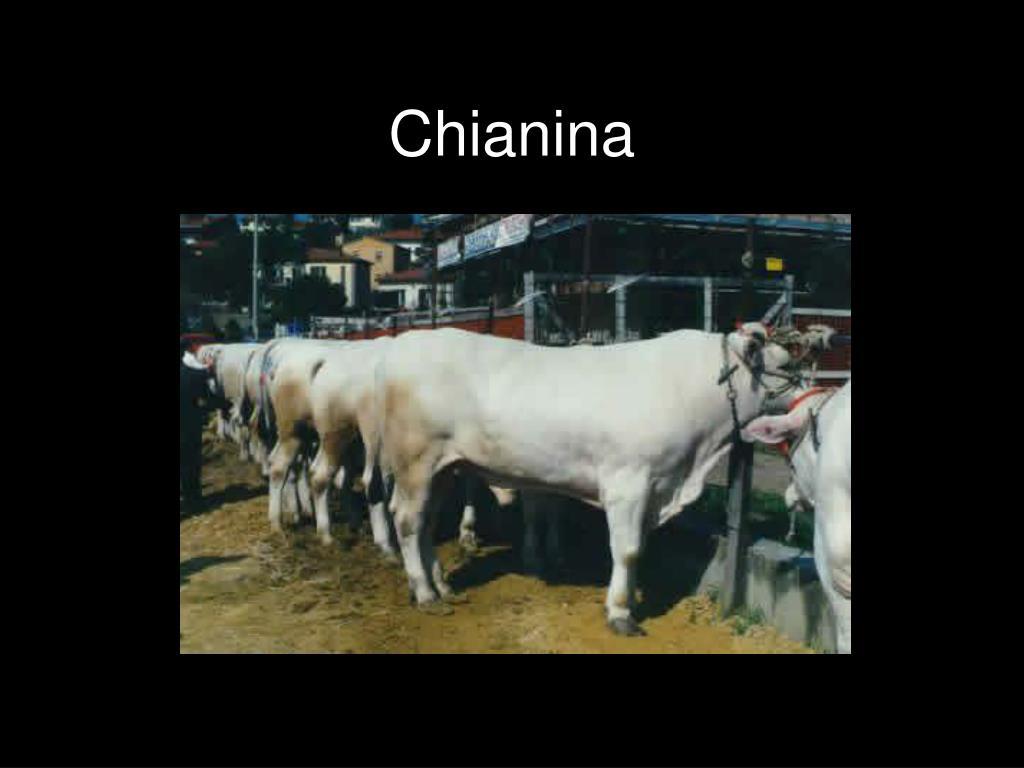 Chianina