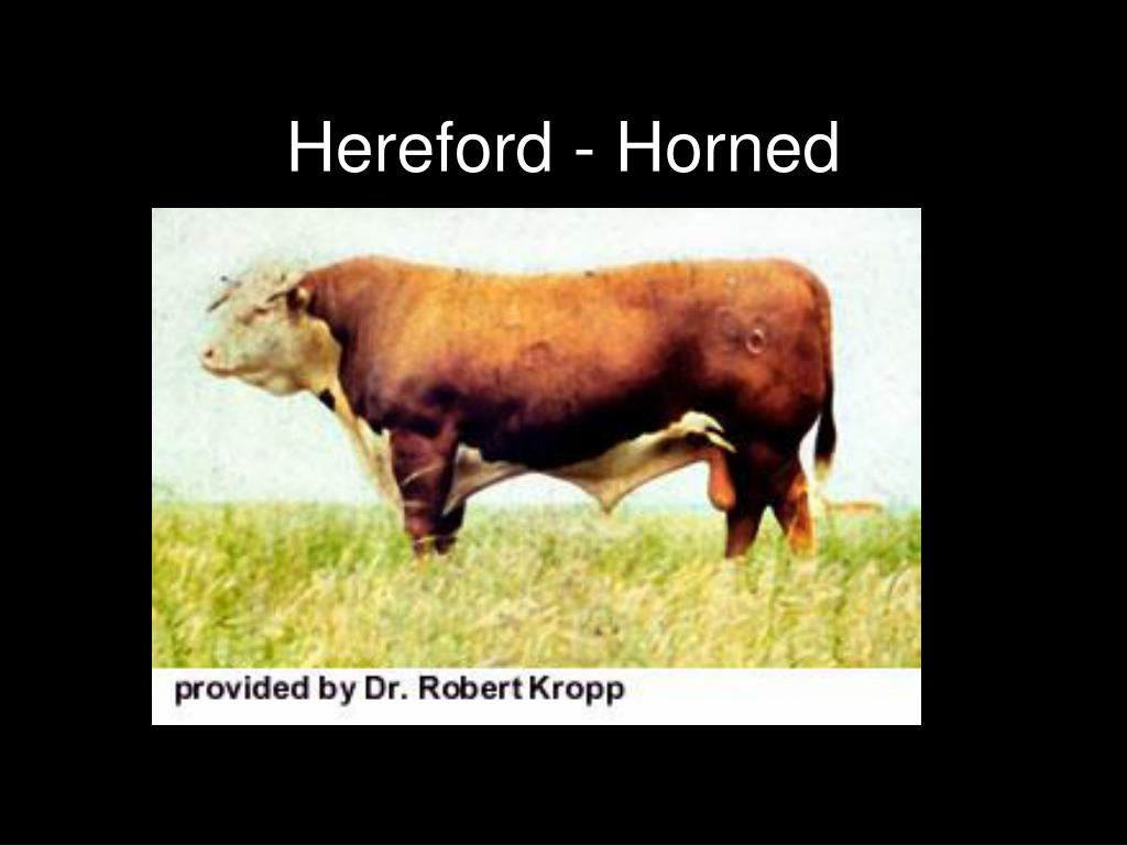 Hereford - Horned