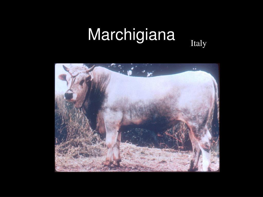 Marchigiana