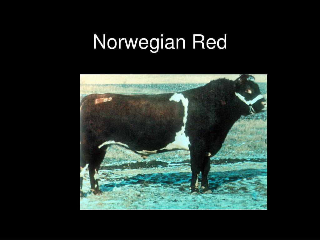 Norwegian Red