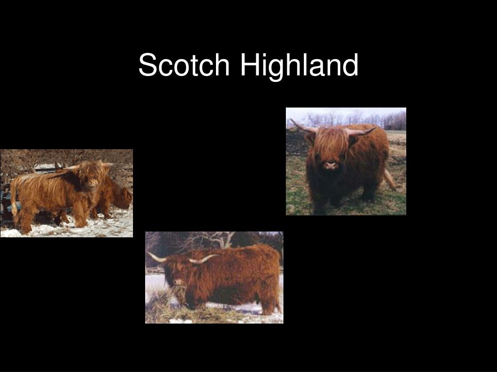 Scotch Highland