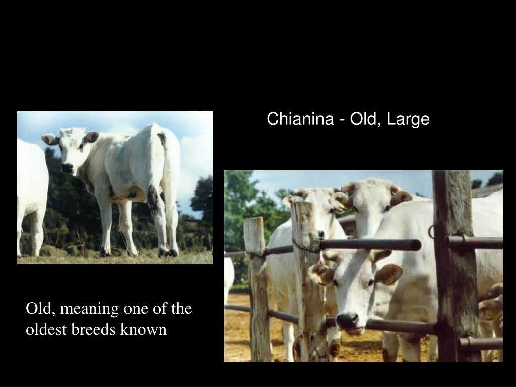 Chianina - Old, Large