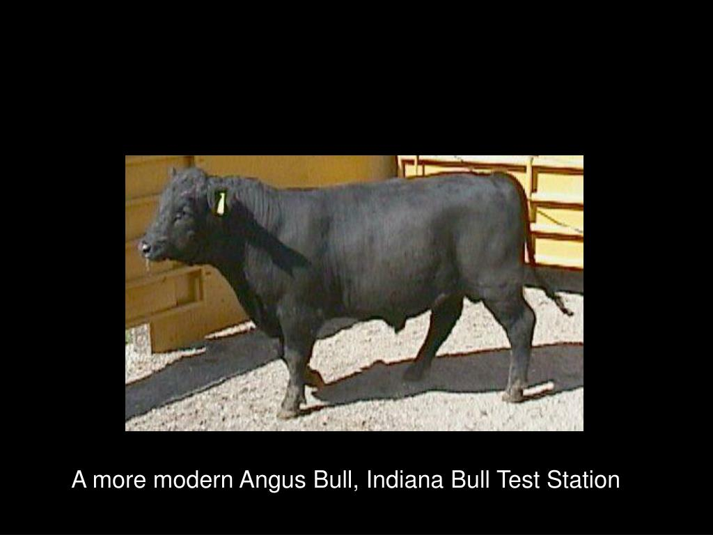 A more modern Angus Bull, Indiana Bull Test Station