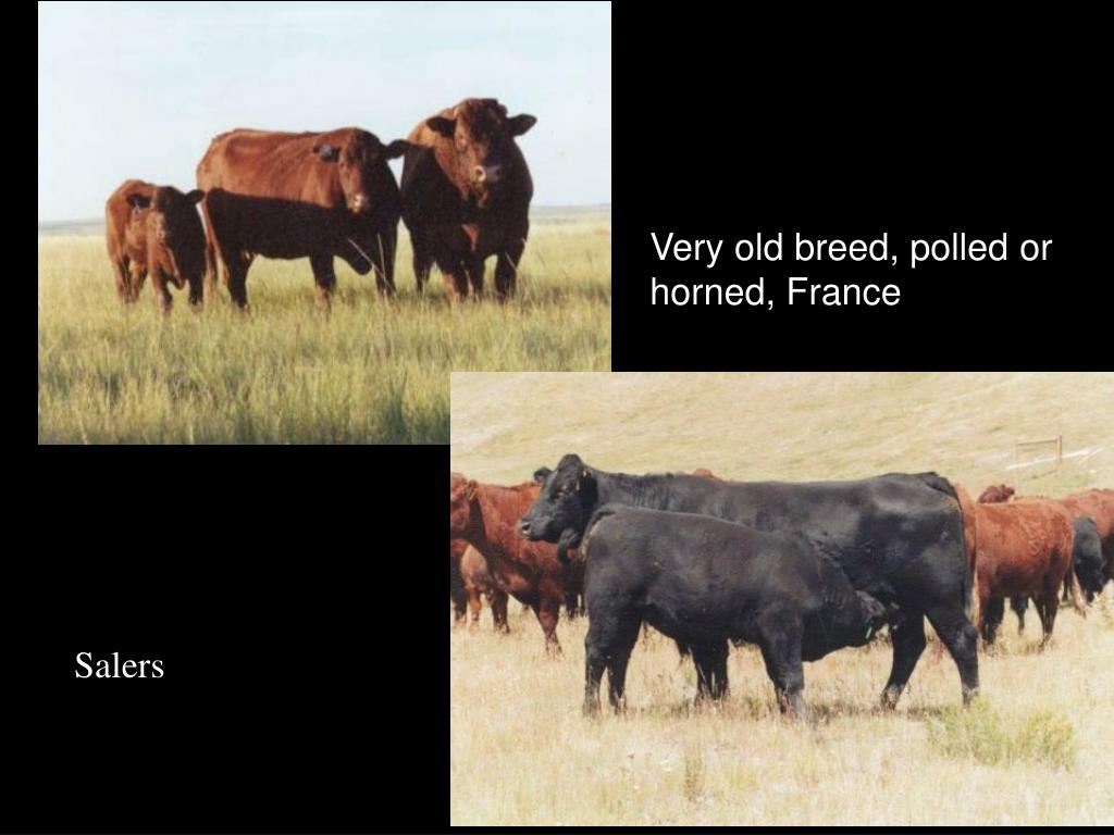 Very old breed, polled or