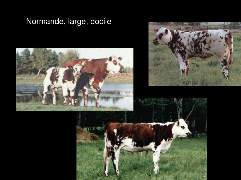 Normande, large, docile
