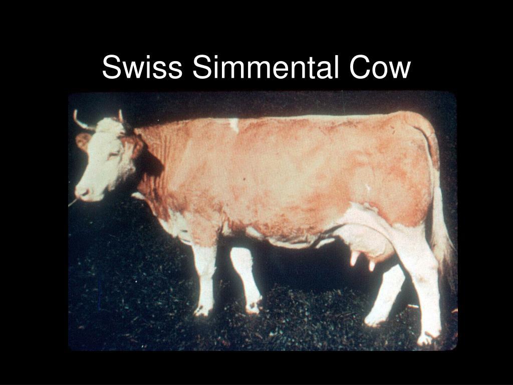 Swiss Simmental Cow