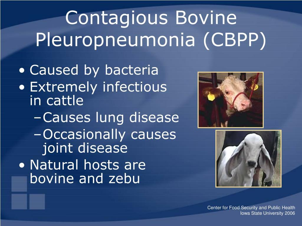 Contagious Bovine Pleuropneumonia (CBPP)