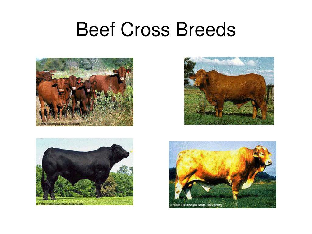 Beef Cross Breeds