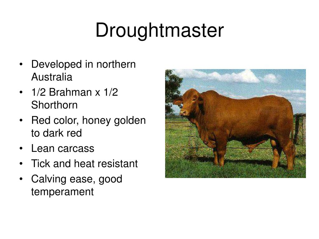 Droughtmaster