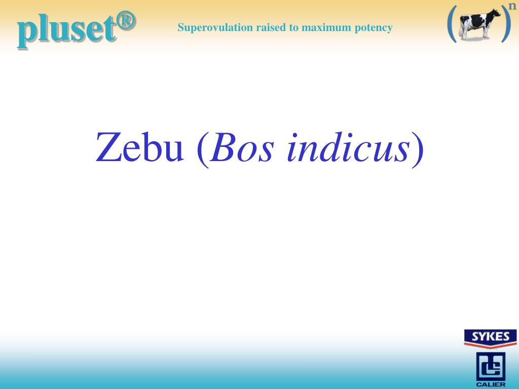 Zebu (