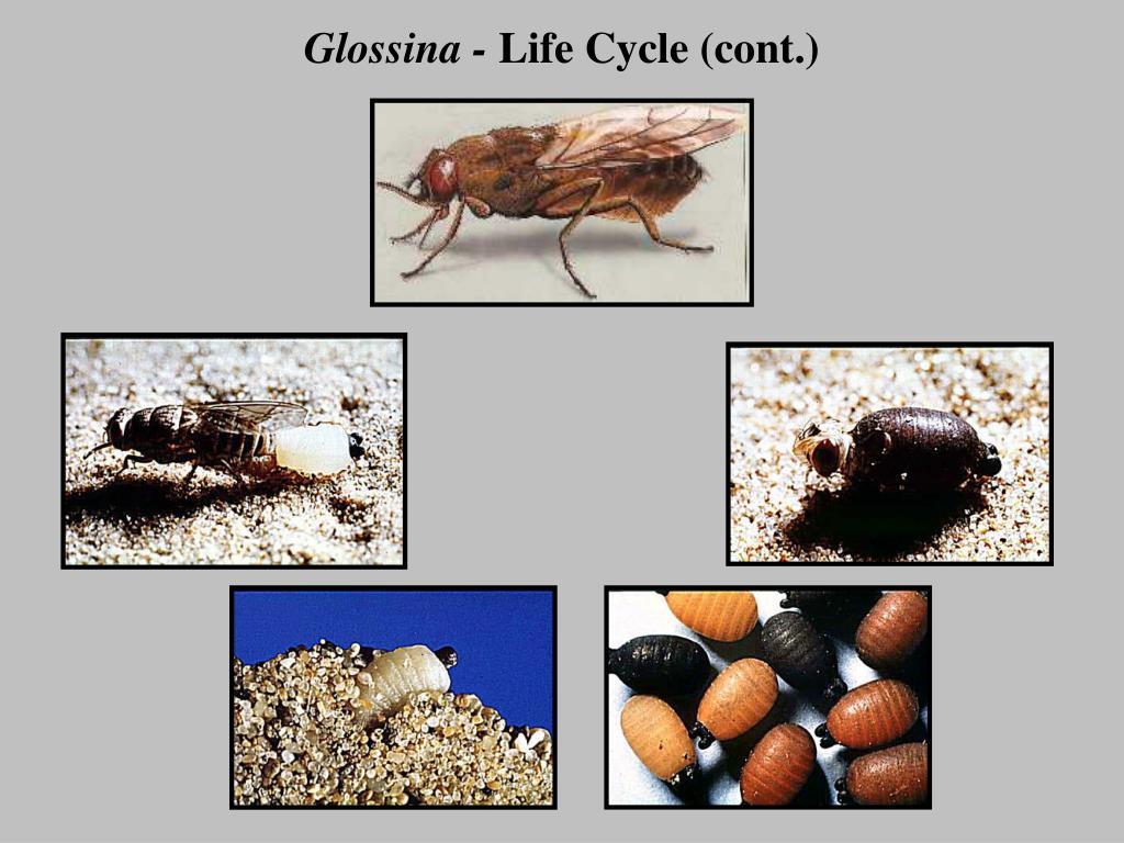 Glossina -