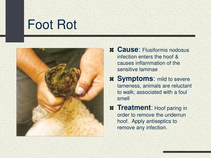 Foot Rot