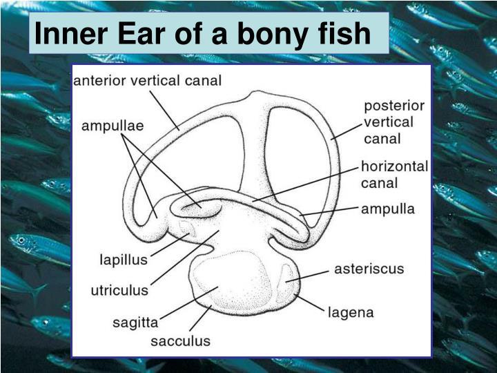 Inner Ear of a bony fish