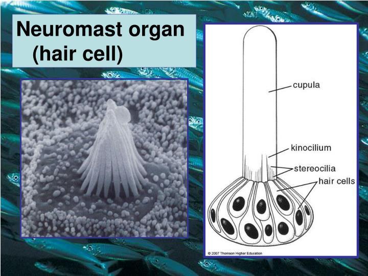 Neuromast organ (hair cell)