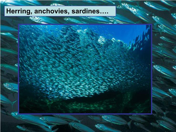 Herring, anchovies, sardines….