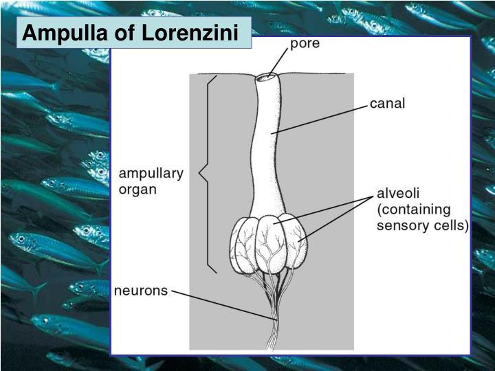Ampulla of Lorenzini