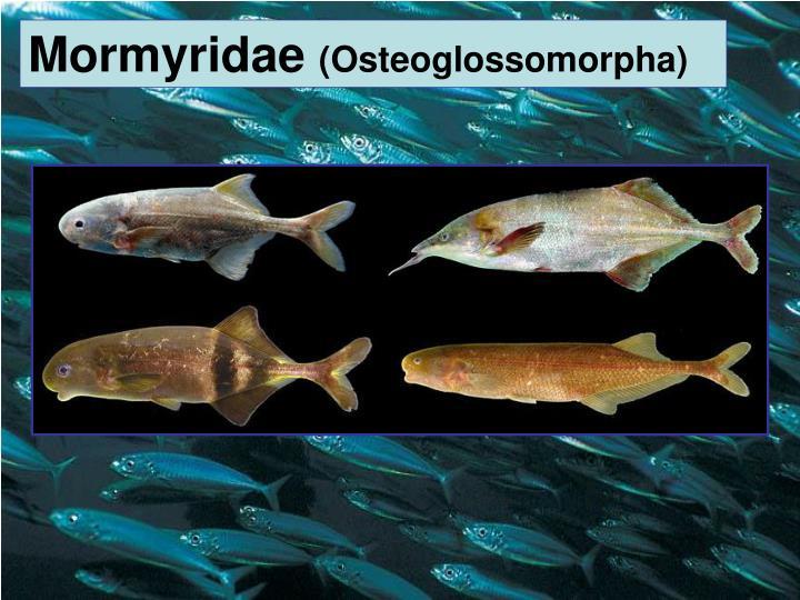 Mormyridae