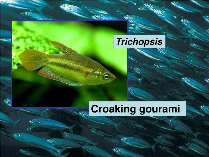 Trichopsis