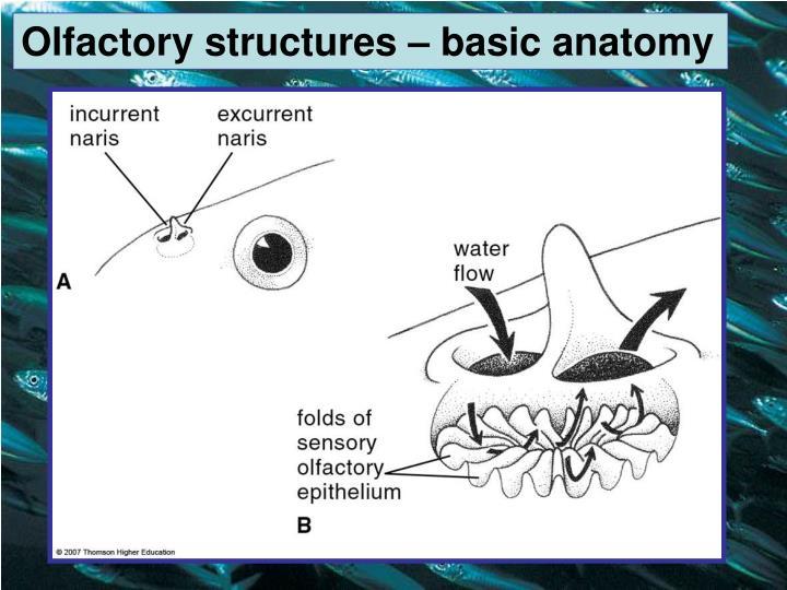 Olfactory structures – basic anatomy