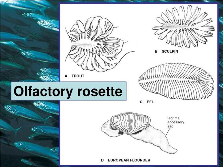 Olfactory rosette