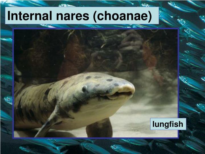Internal nares (choanae)