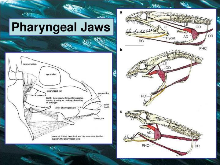 Pharyngeal Jaws