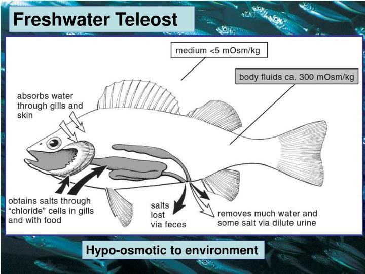 Freshwater Teleost