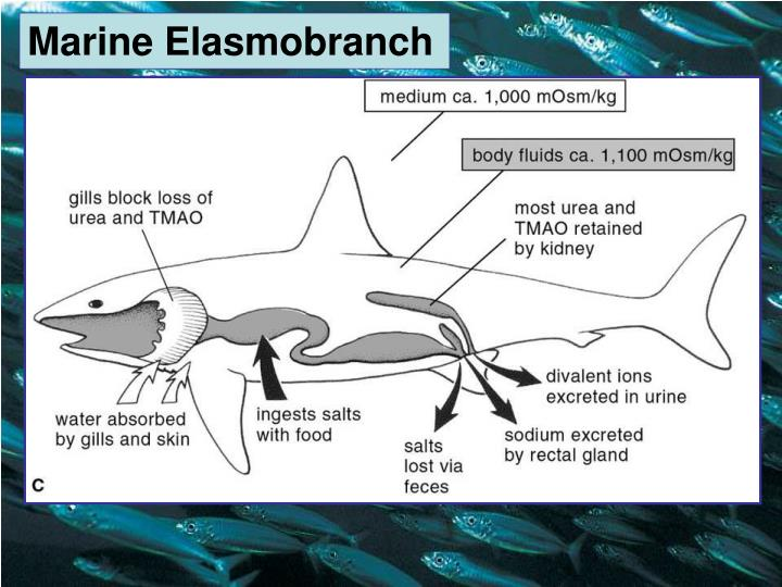 Marine Elasmobranch