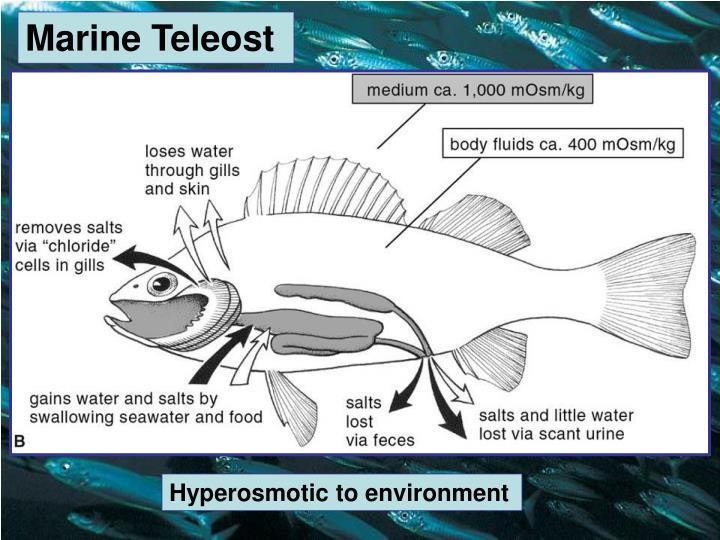 Marine Teleost