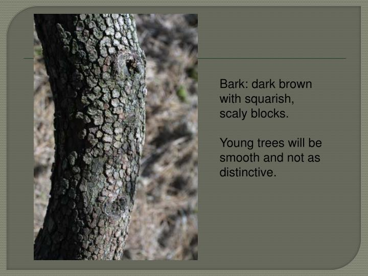 Bark: dark brown with