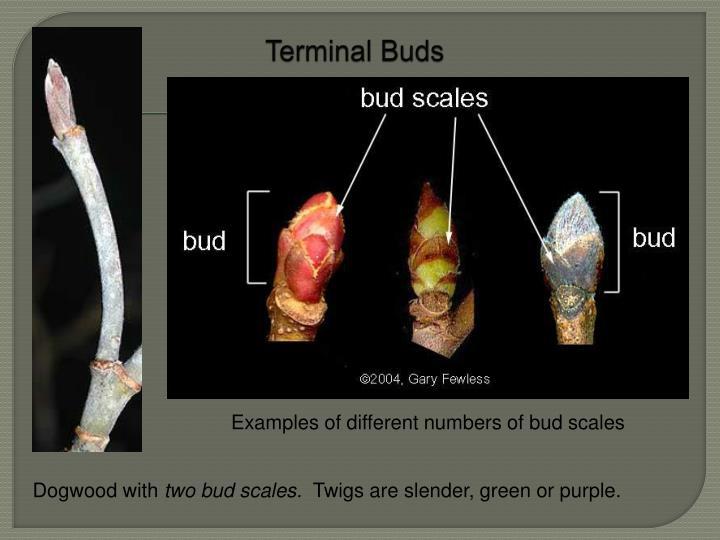 Terminal Buds
